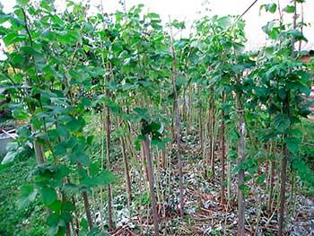 О схеме посадки смородины, крыжовника, малины.